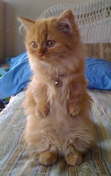 Persian cat for sale in toronto